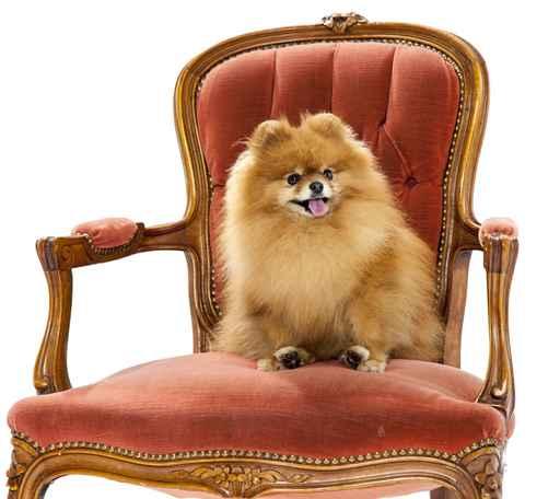 Pomeranian on a chair - studio